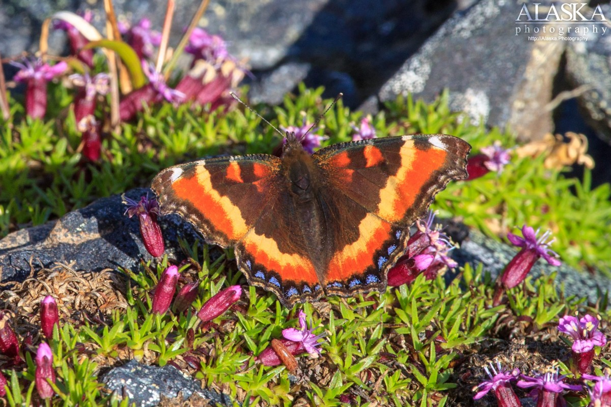 Milbert's tortoiseshell (Nymphalis milberti) on Thompson Pass.