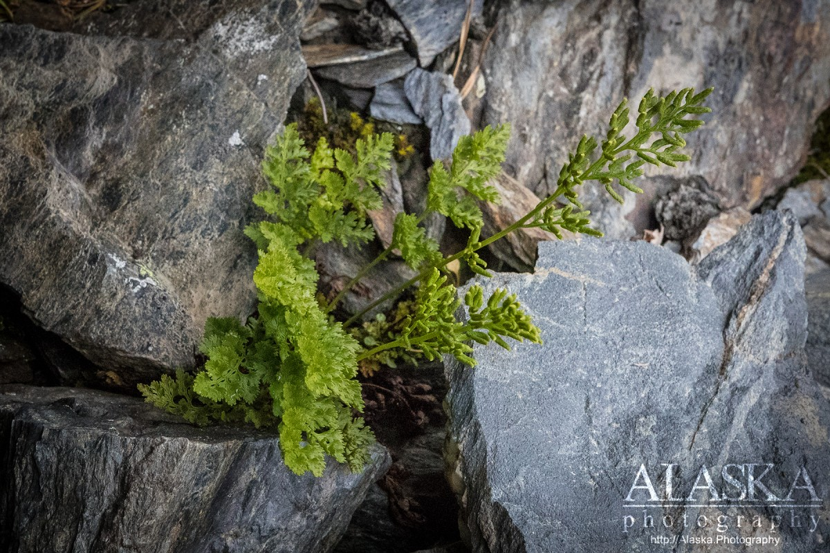 American parsley fern Alaska