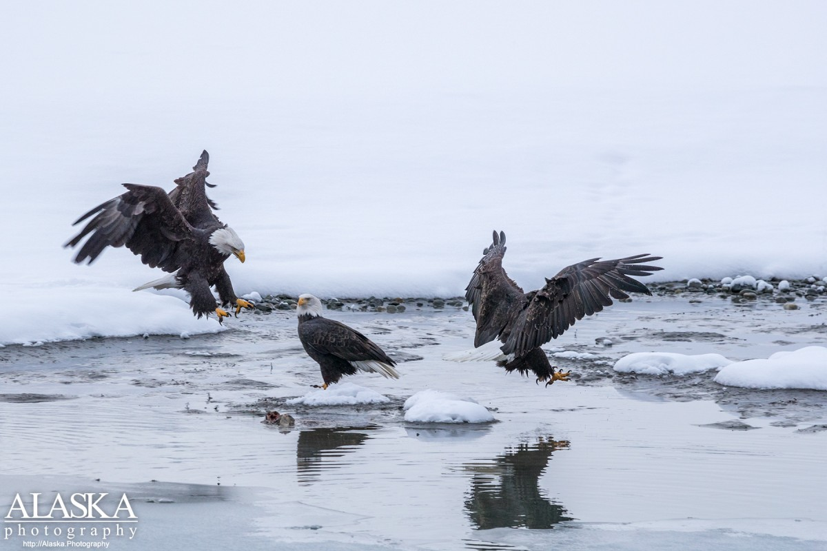 Bald Eagles eat salmon along the Chilkat River.