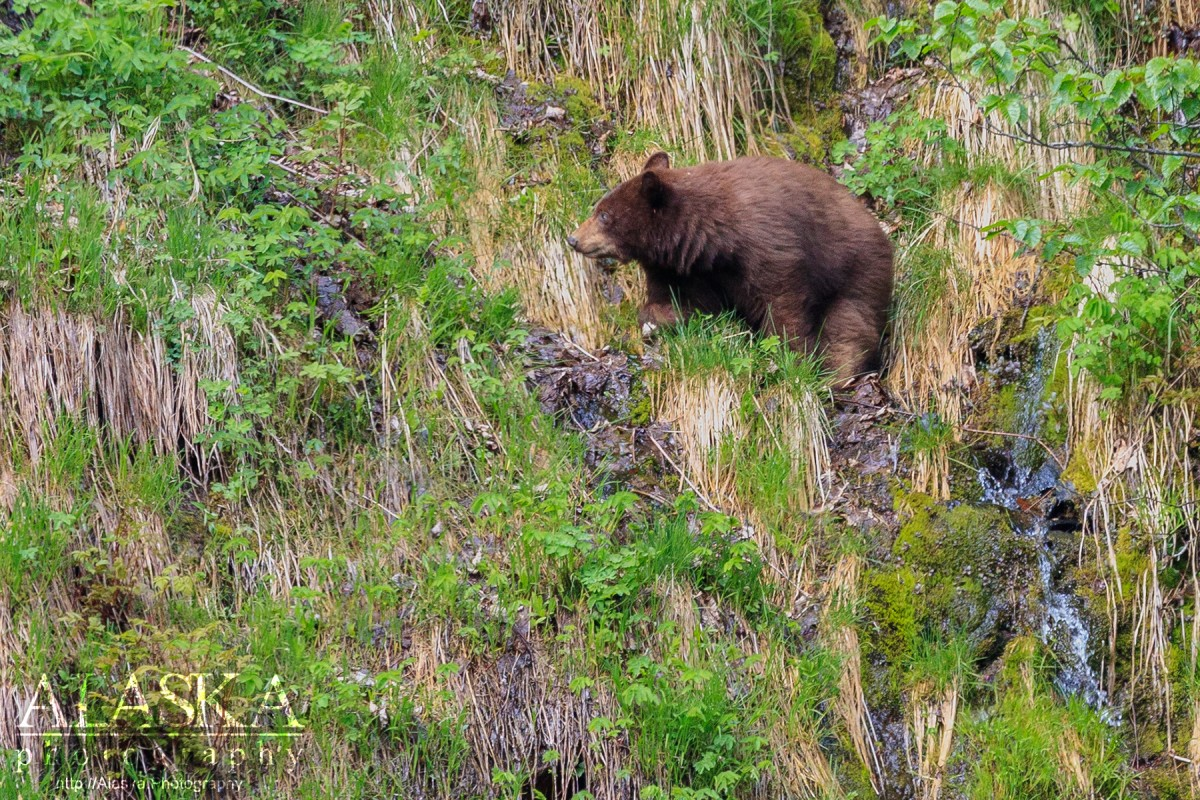 A cinnamon black bear wanders around the side of a steep slope foraging for food.