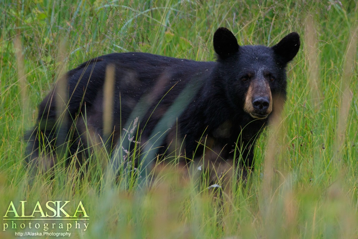 A black bear wanders through the tall grass of Duck Flats outside Valdez.