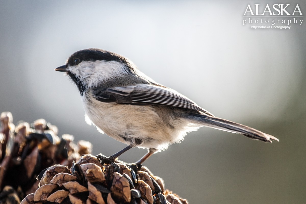 Black capped chickadee in Fairbanks.