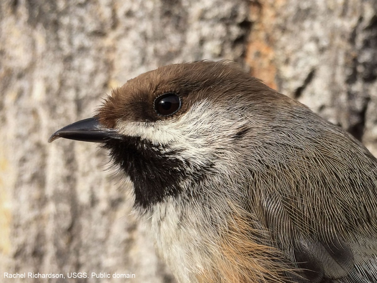 A Boreal Chickadee with a mildly deformed beak. Rachel Richardson, USGS. Public domain.