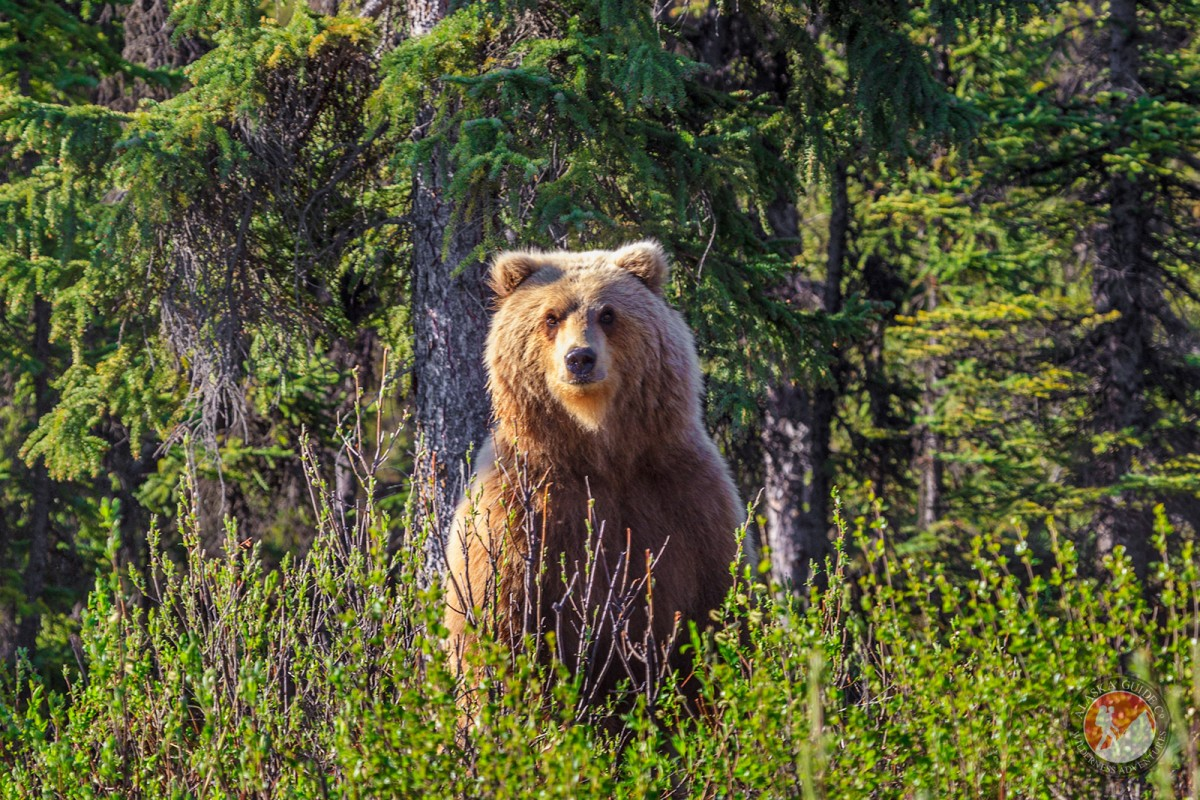 A brown bear stands up above the brush along the side of the Denali Highway.