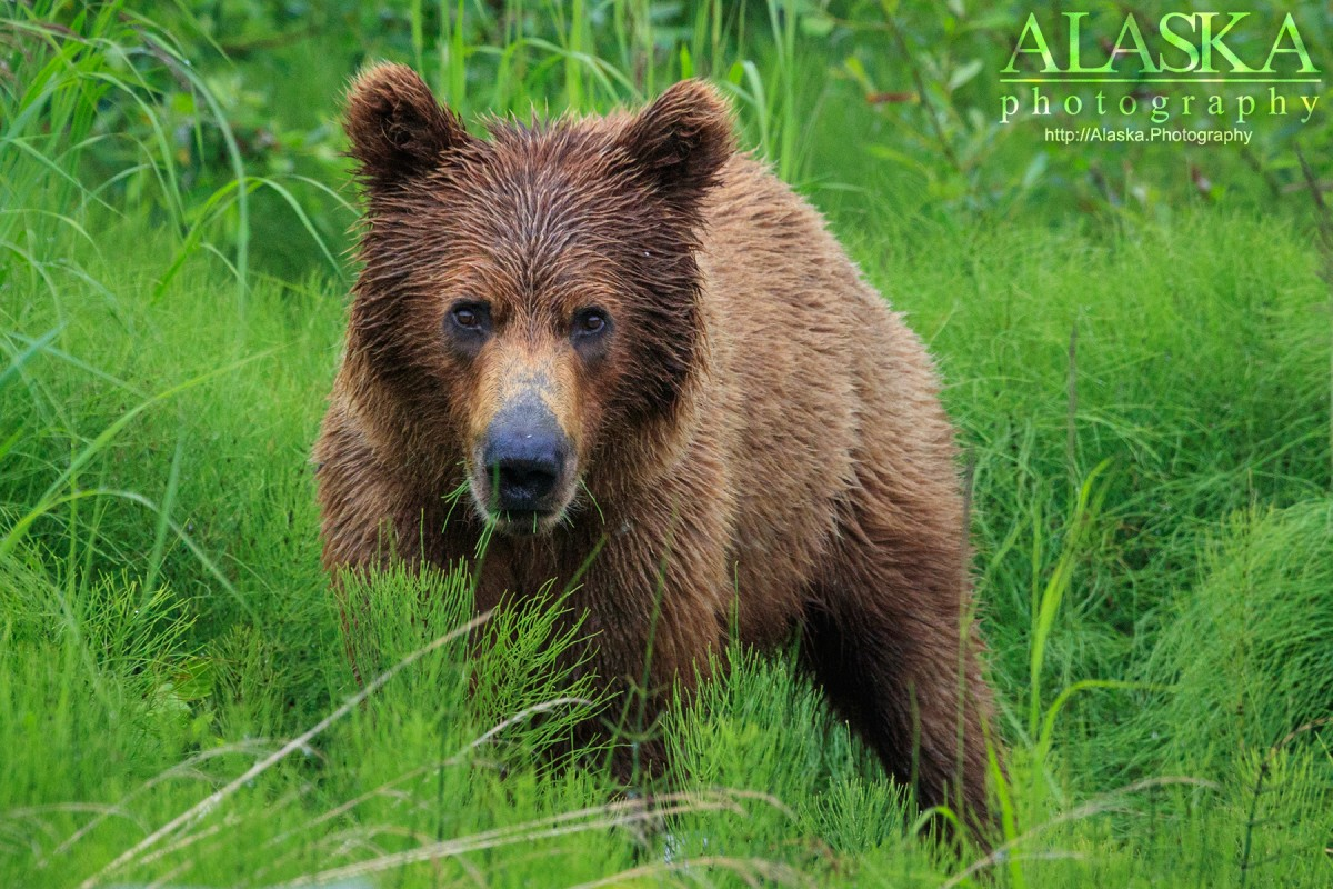 A brown bear forages among horsetail just outside of Valdez.