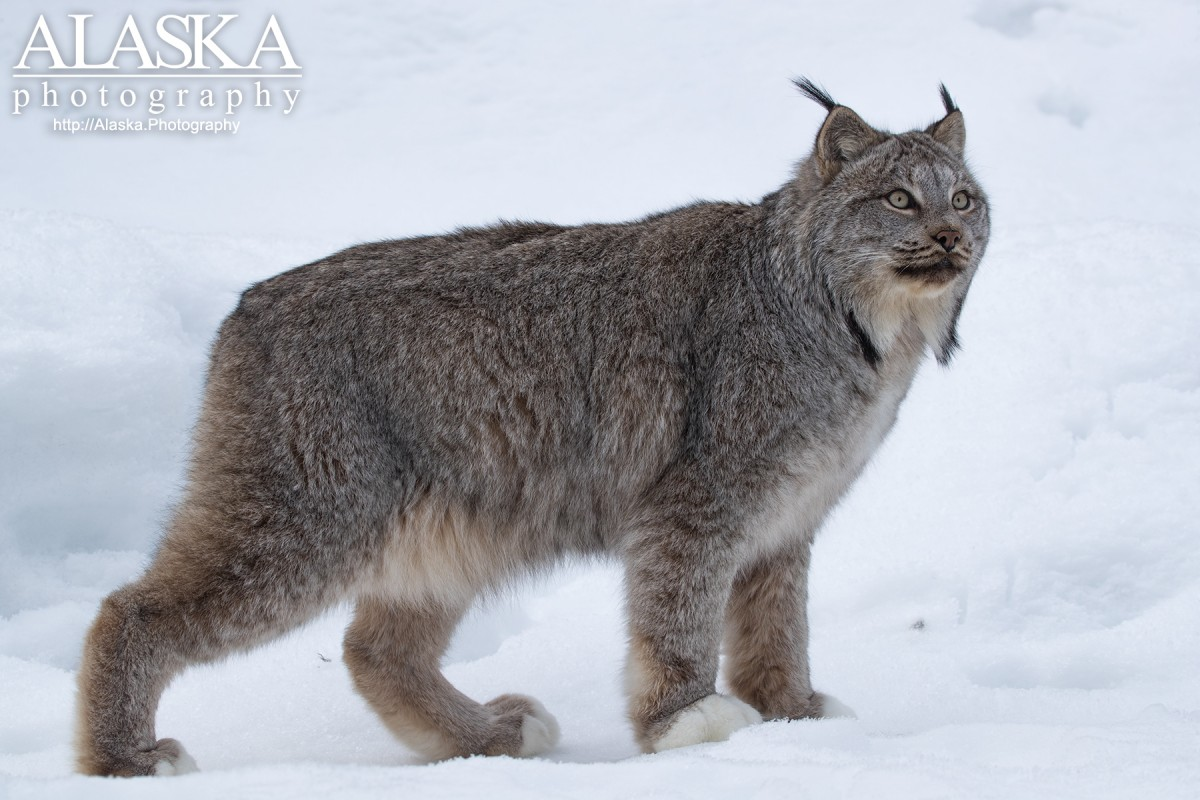 A lynx stops in the snow.