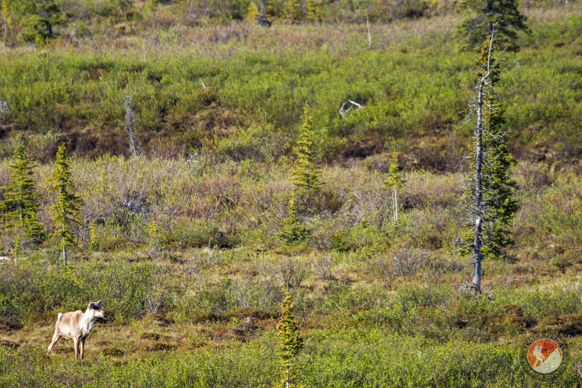 A caribou wanders through the brush along the Denali Highway.
