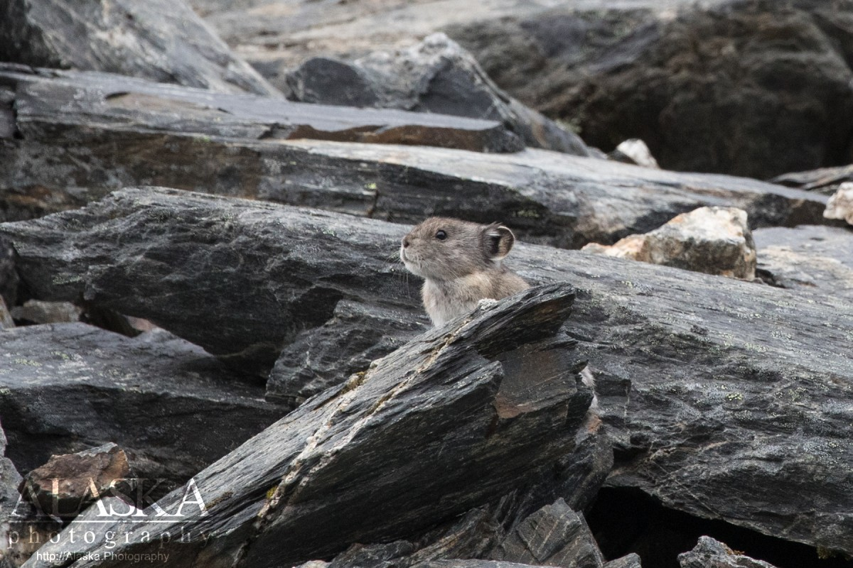 A Pika sits in scree on Thompson Pass.