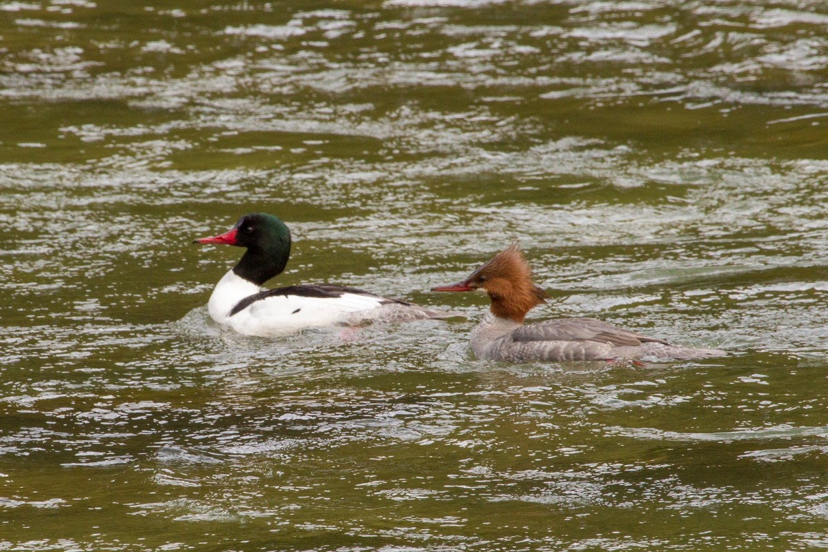 Common mergansers on Chilkoot River.