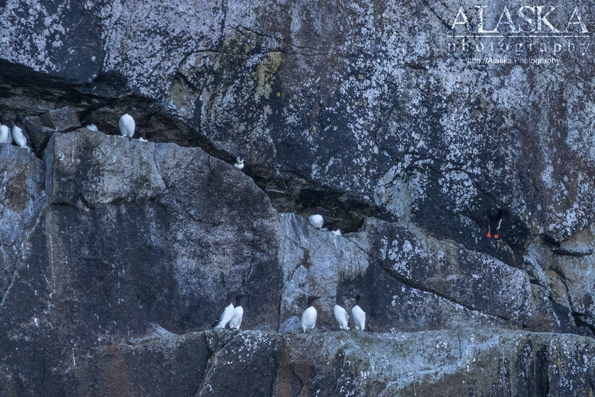 Murres and Puffins sit perched on the edge of Natoa Island.