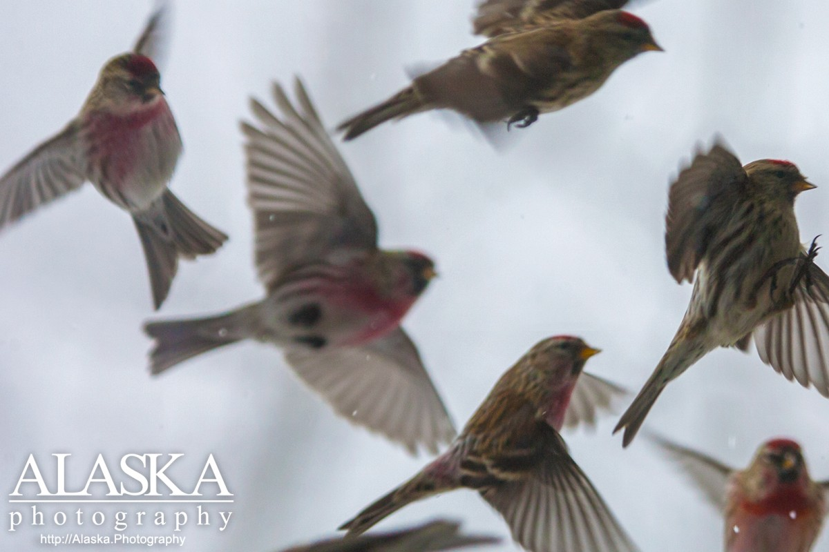 Common redpolls near Fairbanks.