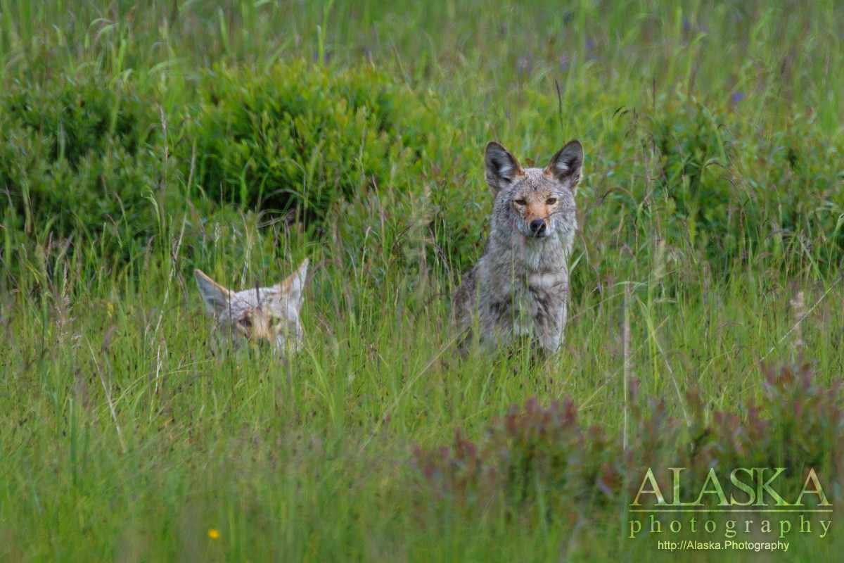 Coyotes watch from the grass in Duck Flats near Valdez.