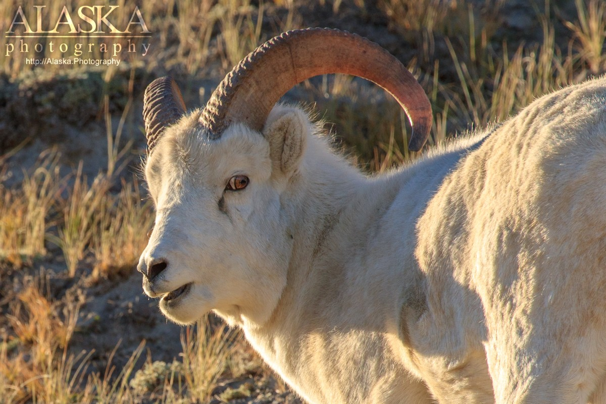 A young Dall sheep.