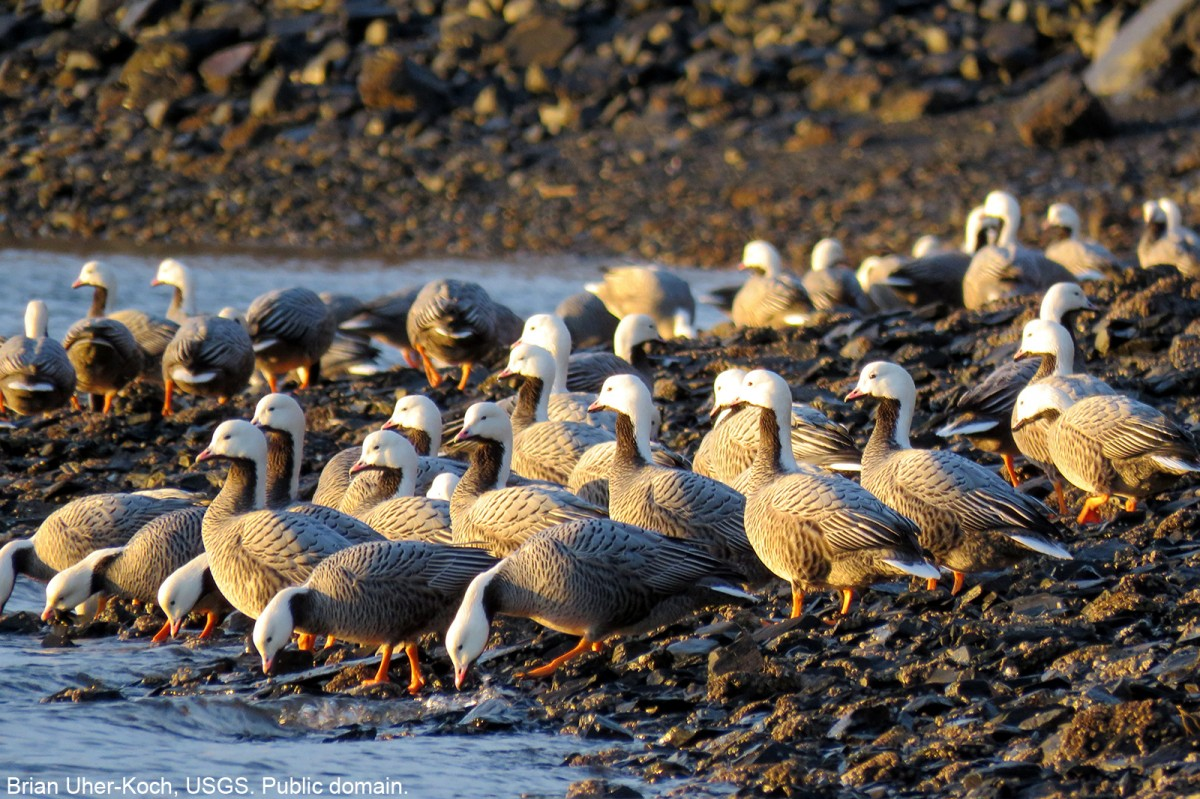 Emperor geese at the shoreline in Kodiak. Brian Uher-Koch, USGS. Public domain.