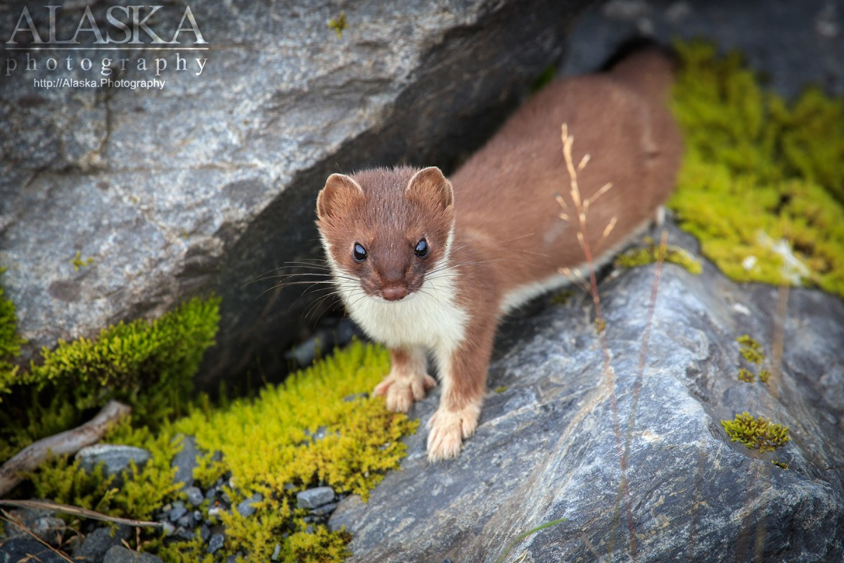 A short-tailed weasel pauses along the rocks along Port Valdez, near Valdez.