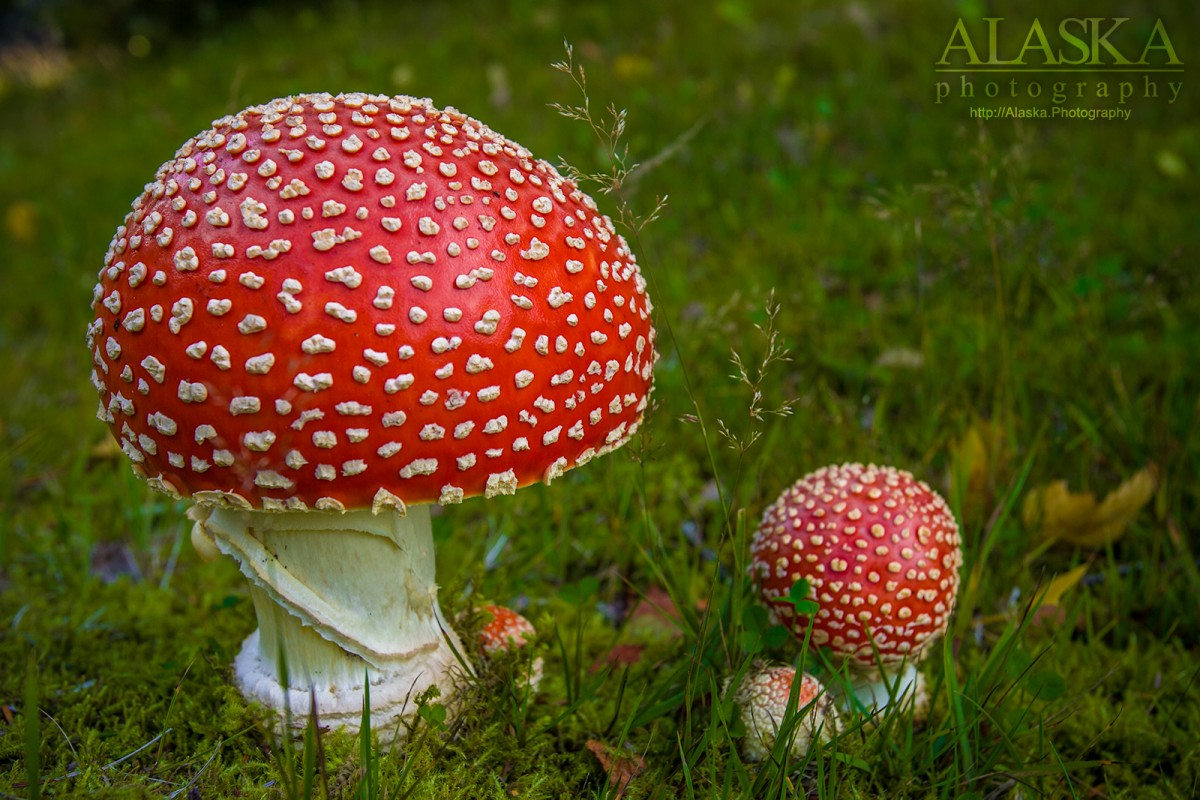 Amanita muscaria or fly agaric growing in Haines.