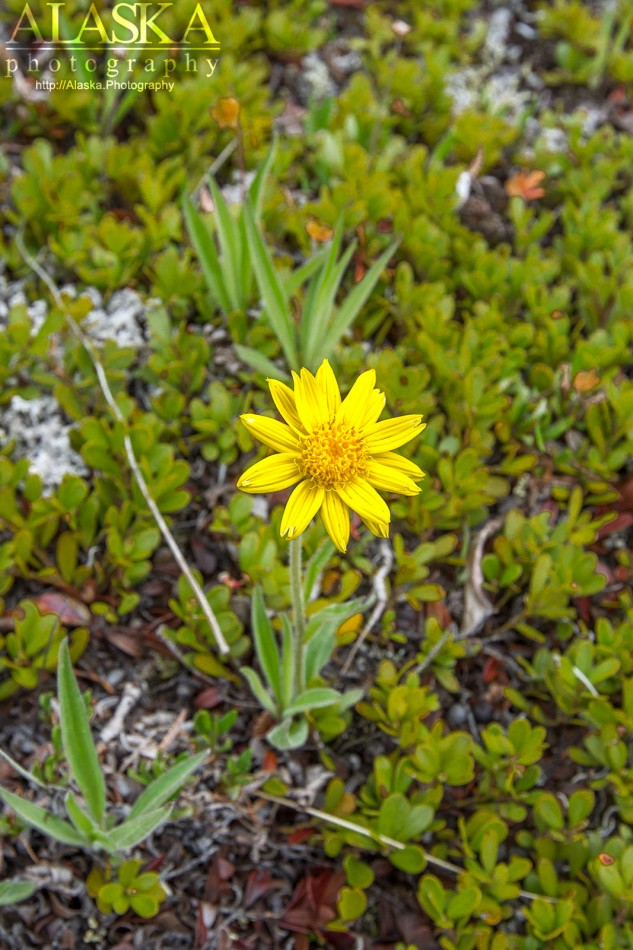 Frigid Arnica near Mitten Hill in Wrangell-St. Elias National Park.