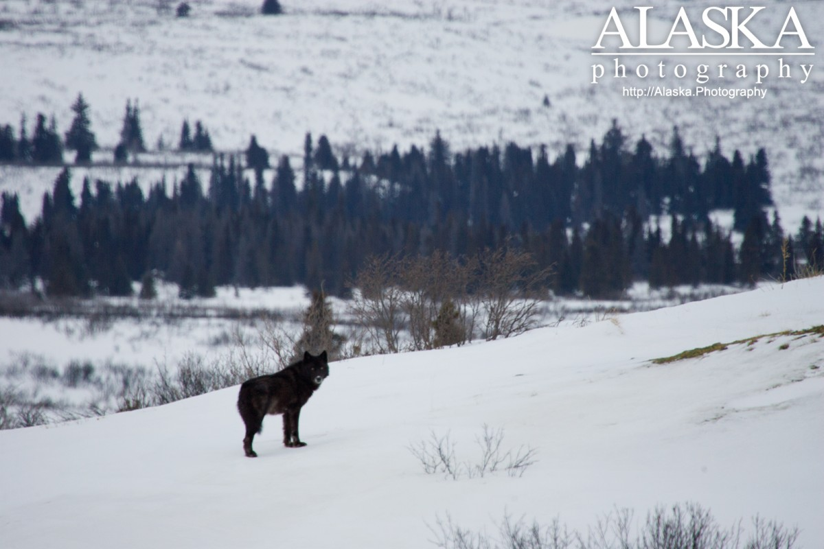 A gray wolf near Haines Summit.