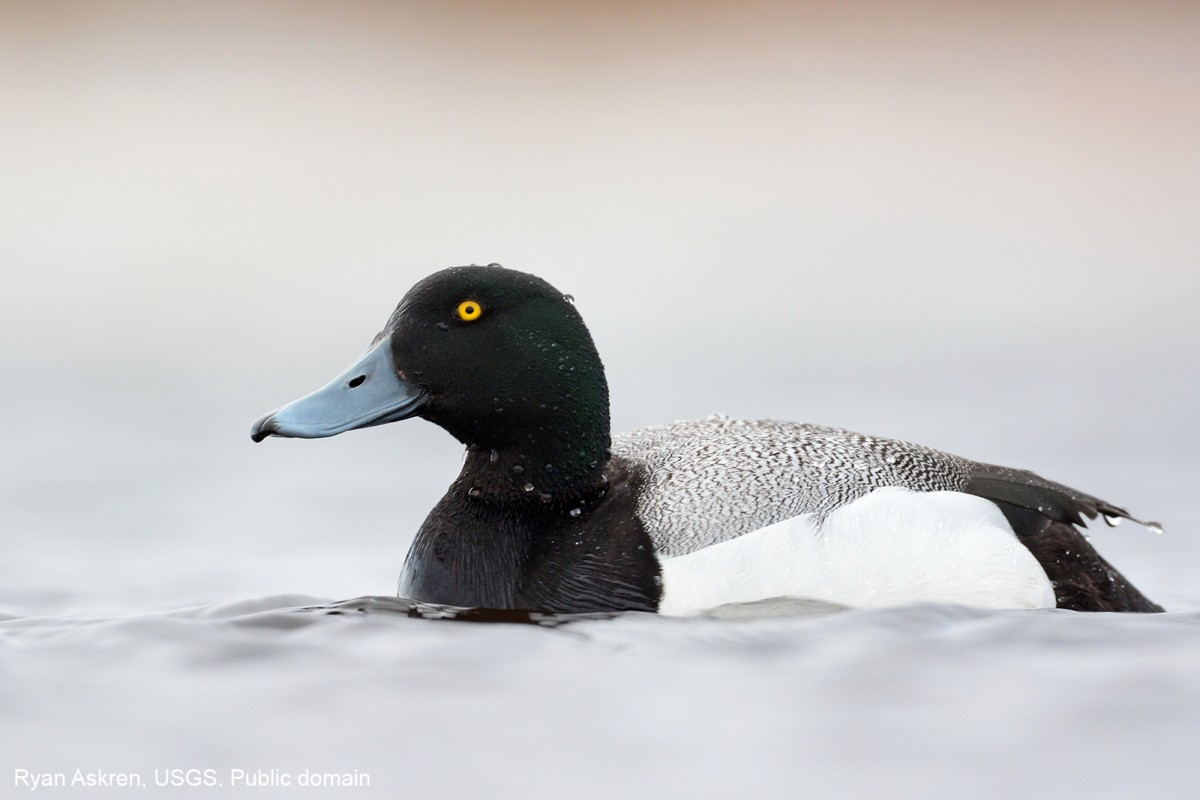 Greater Scaup on the Arctic Coastal Plain. Ryan Askren, USGS. Public domain