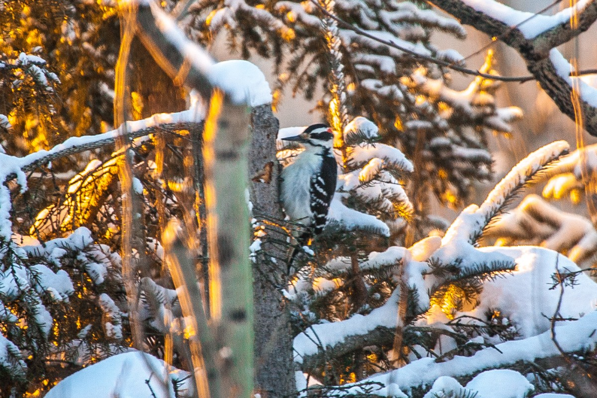 Hairy Woodpecker in Fairbanks.