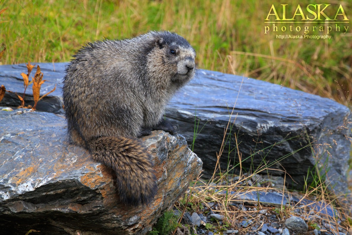 A marmot hanging out on the rocks near Valdez.