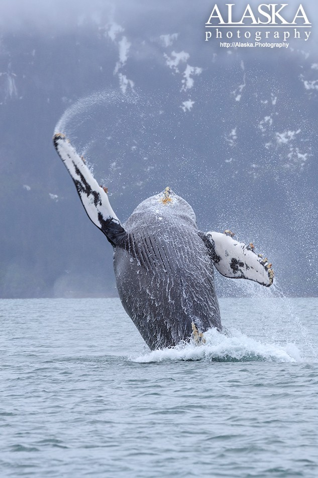 A humpback whale breaching in Port Valdez.
