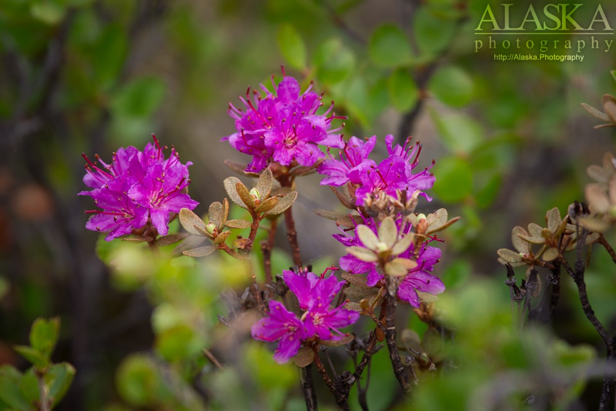 Lapland rosebay growing in Wrangell-St. Elias National Park.