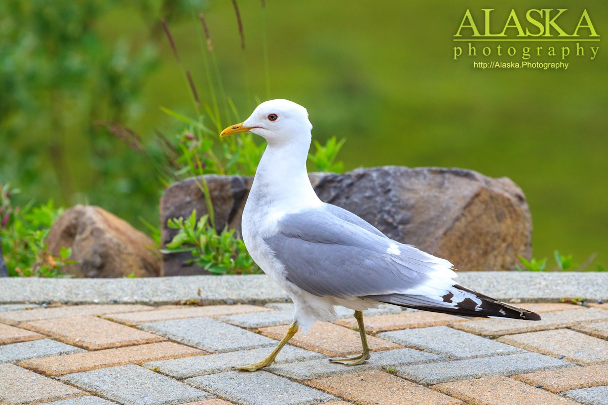 A new gull walks along at Eielson Center in Denali National Park.