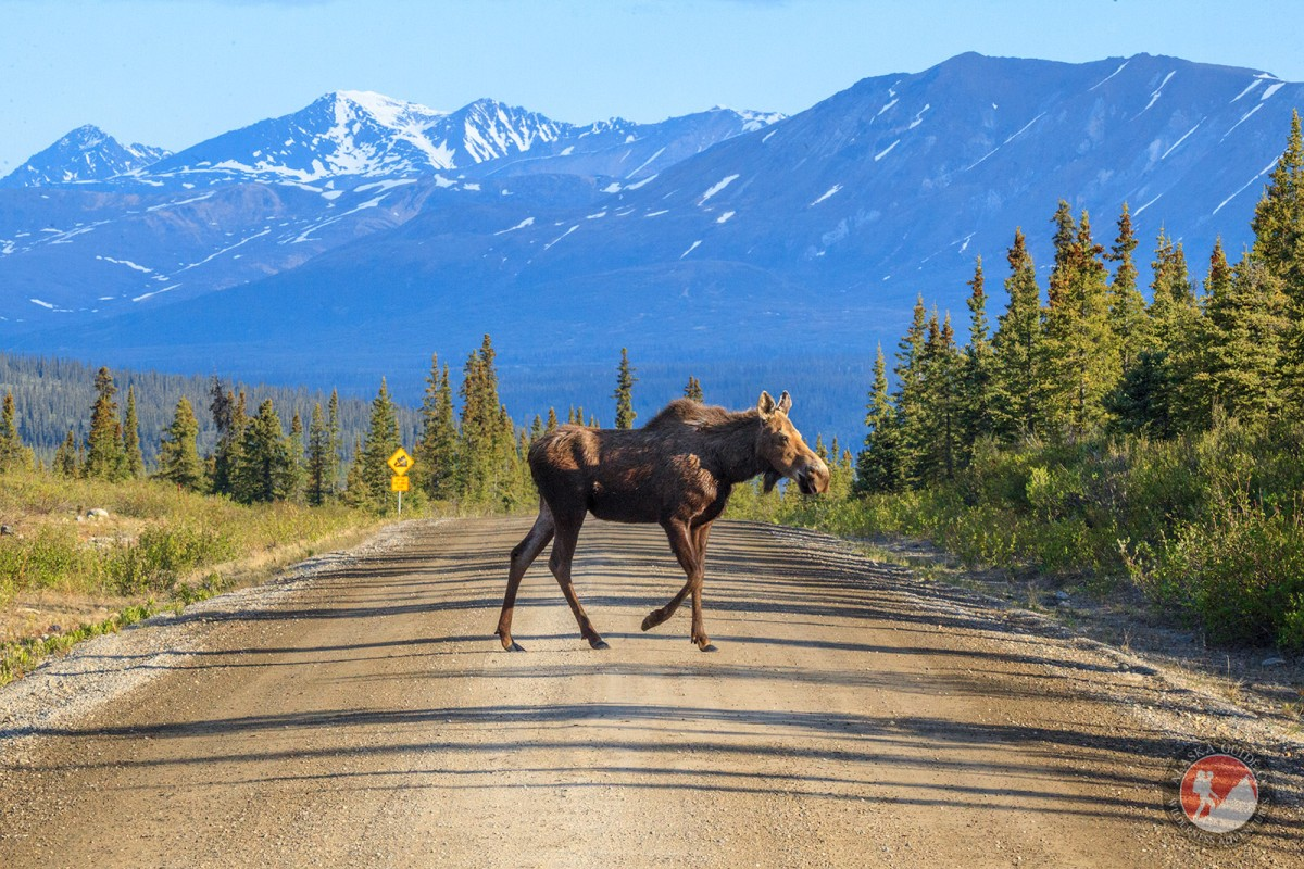 A moose crossing the Denali Highway.