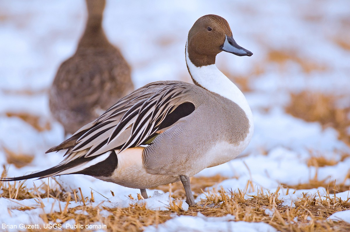 Northern Pintail Duck male on snow covered ground. Brian Guzetti, USGS. Public domain