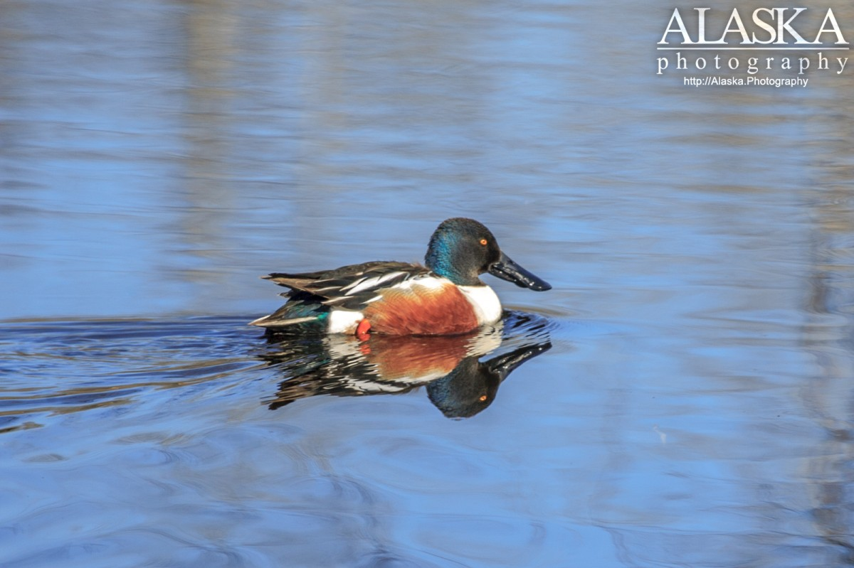 Northern Shoveler (Anas clypeata) near Goldstream Creek, near Fairbanks.