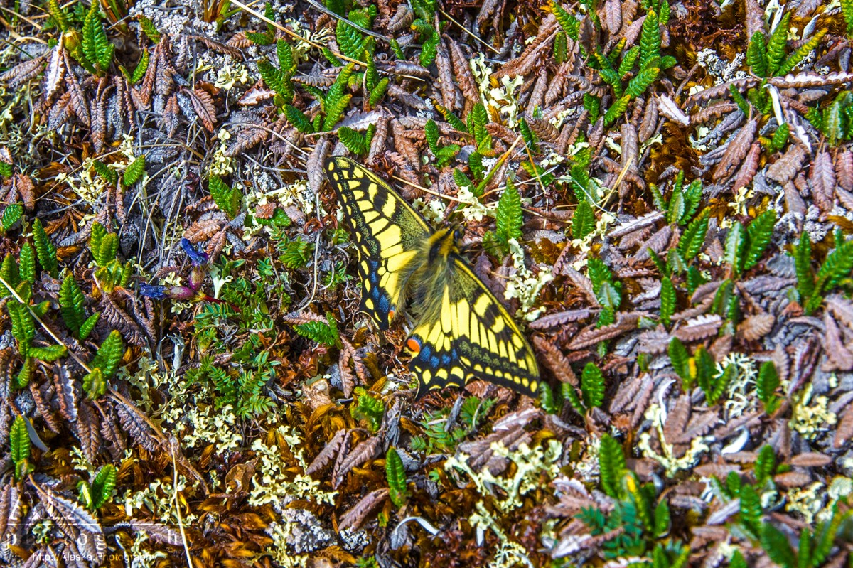 Old World Swallowtail (Papilio machaon) in the Nutzotin Mountains.