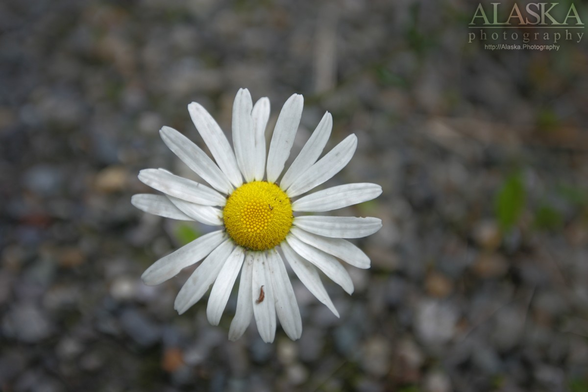 Oxeye Daisy (Leucanthemum vulgare) growing in Haines.