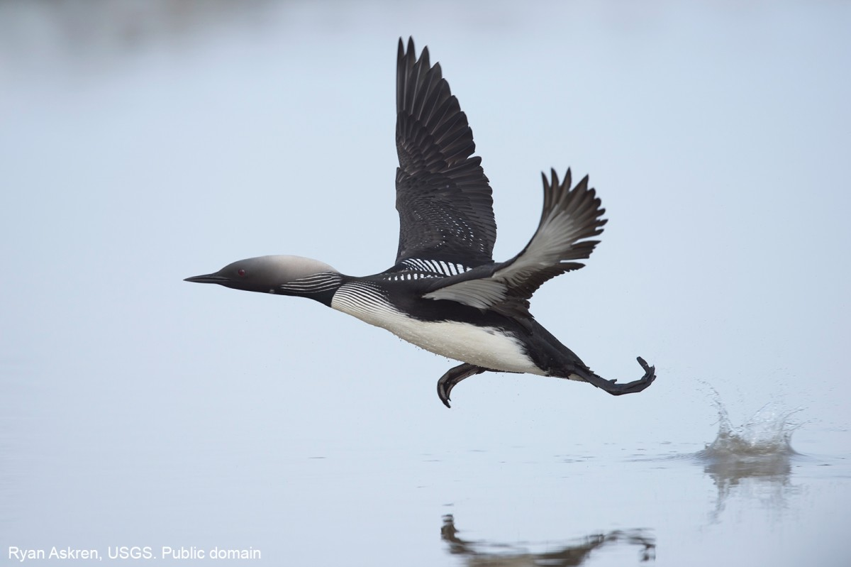 A Pacific Loon taking off from a small lake near the Colville River Delta in northern Alaska. Ryan Askren, USGS. Public domain
