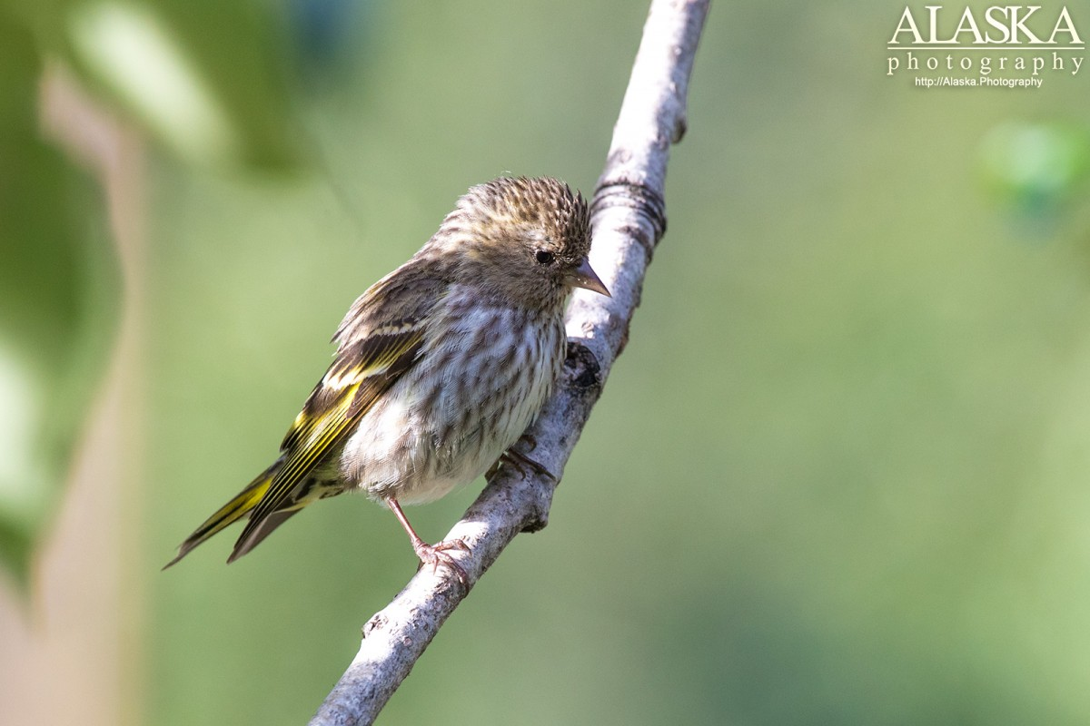 Pine siskin in a cottonwood tree near Valdez.