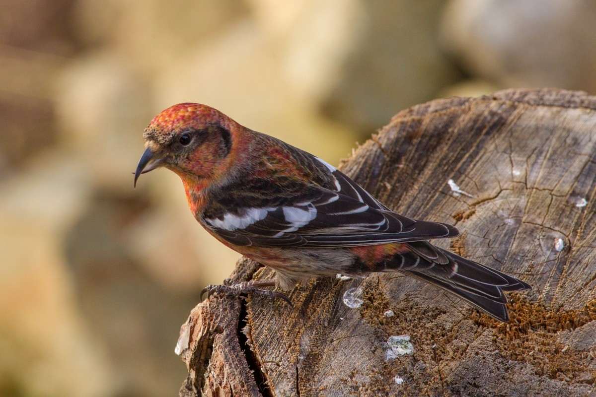 Red Crossbill with the white patches on the wings resembling marks of pine grosbeak.