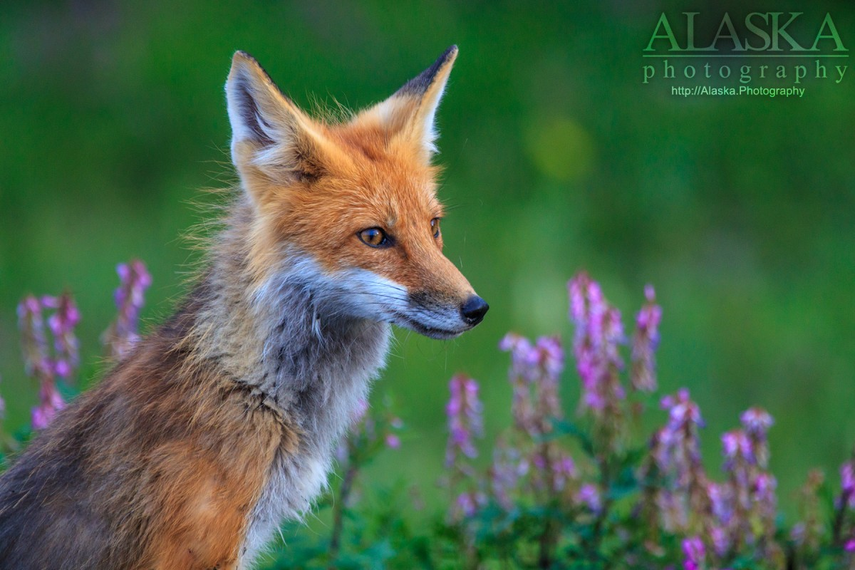 A red fox stands near patches of vetch outside Glennallen.