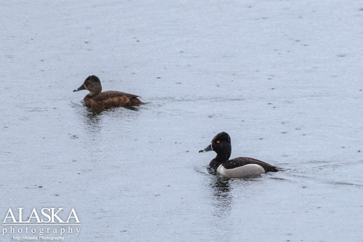 Male and female ring-necked ducks in Ruth Pond in Valdez.