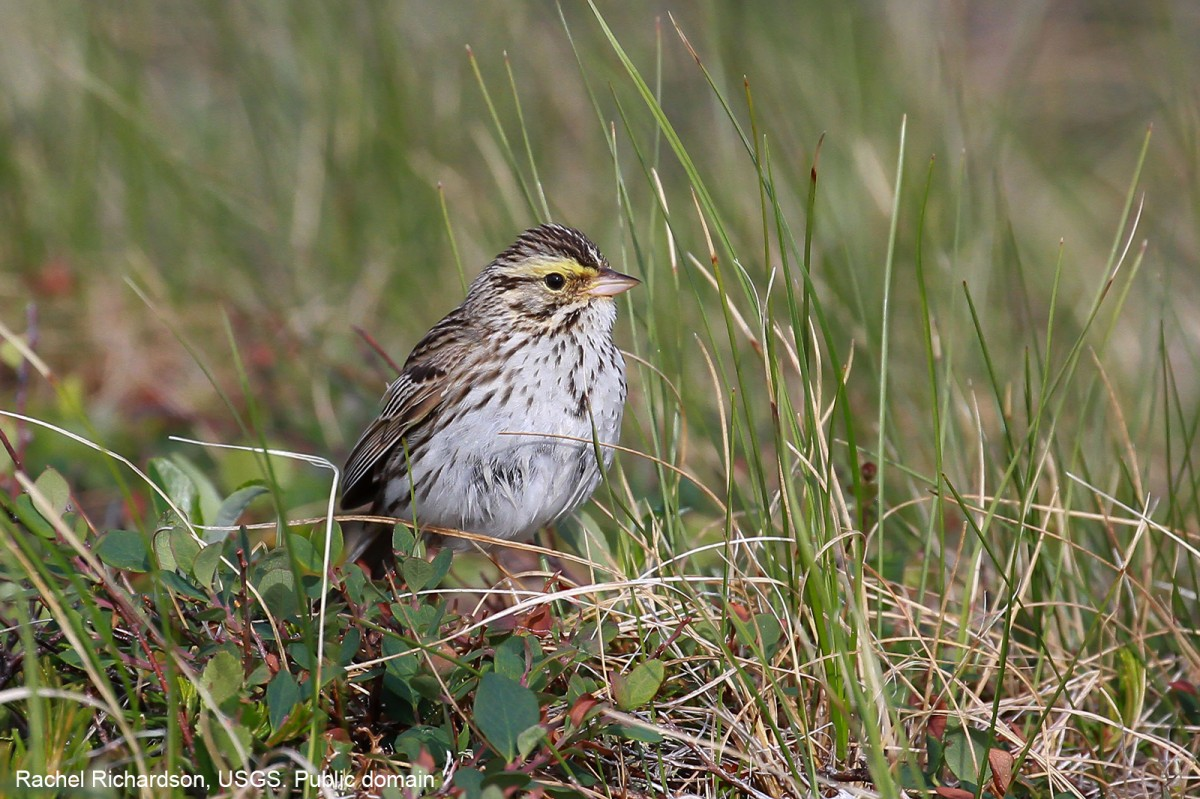 A Savannah Sparrow. Rachel Richardson, USGS. Public domain