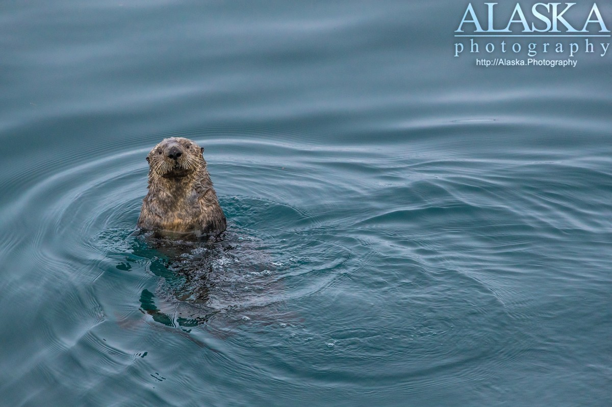 Sea Otters Alaska