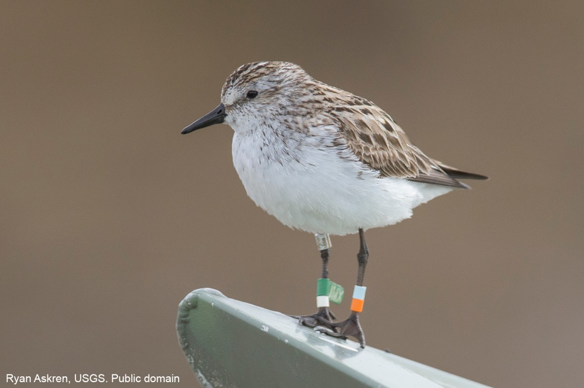 A Semipalmated Sandpiper on the bow of a boat on the Colville River Delta in northern Alaska. This picture was taken during the Changing Arctic Ecosytems project.  The band recoveries of this species were from as far away as Peru.  These birds are only about 25 grams a piece. Ryan Askren, USGS. Public domain