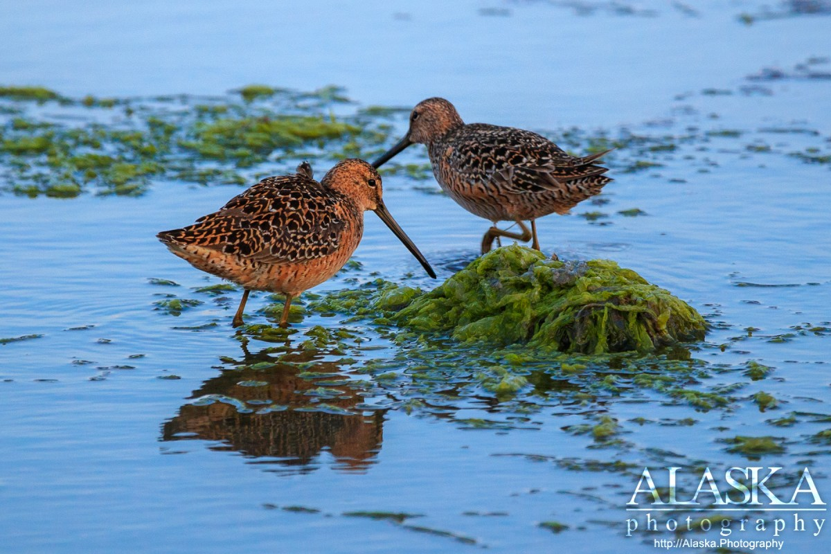 Short-billed dowitchers on the shore of Port Valdez.