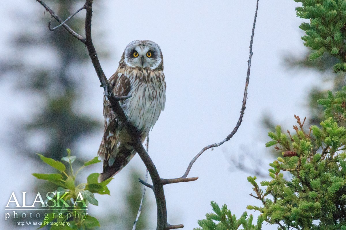 A Short-eared Owl sits in the top of a small dead cottonwood outside of Glennallen.