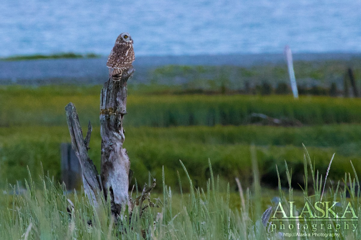 A Short-eared owl sits watching gulls cry at it's presence flying overhead.