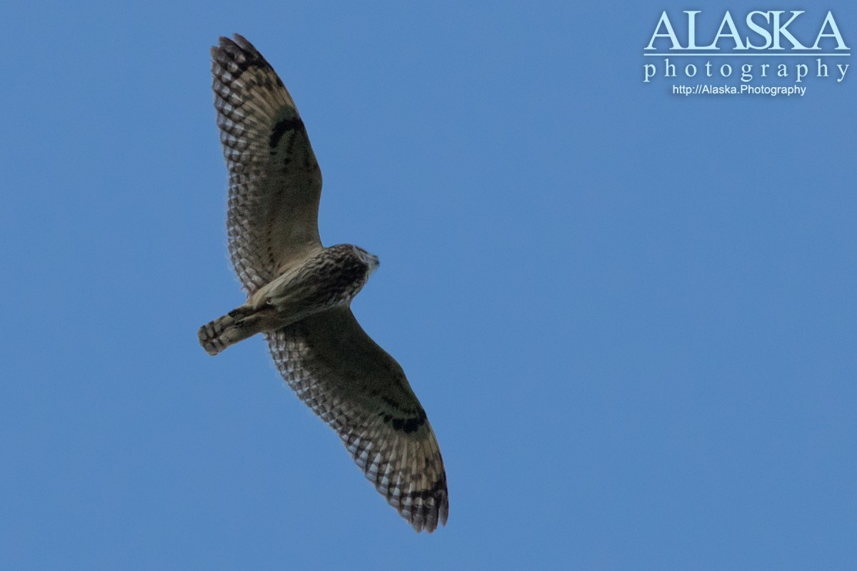 Short-eared Owl in flight near Valdez.
