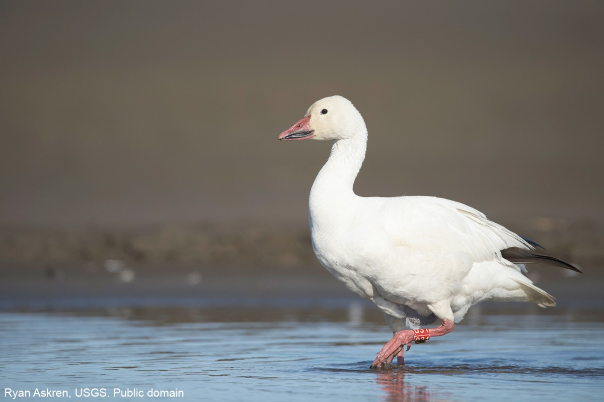 Snow Goose near the Colville River, northern Alaska. Ryan Askren, USGS. Public domain.