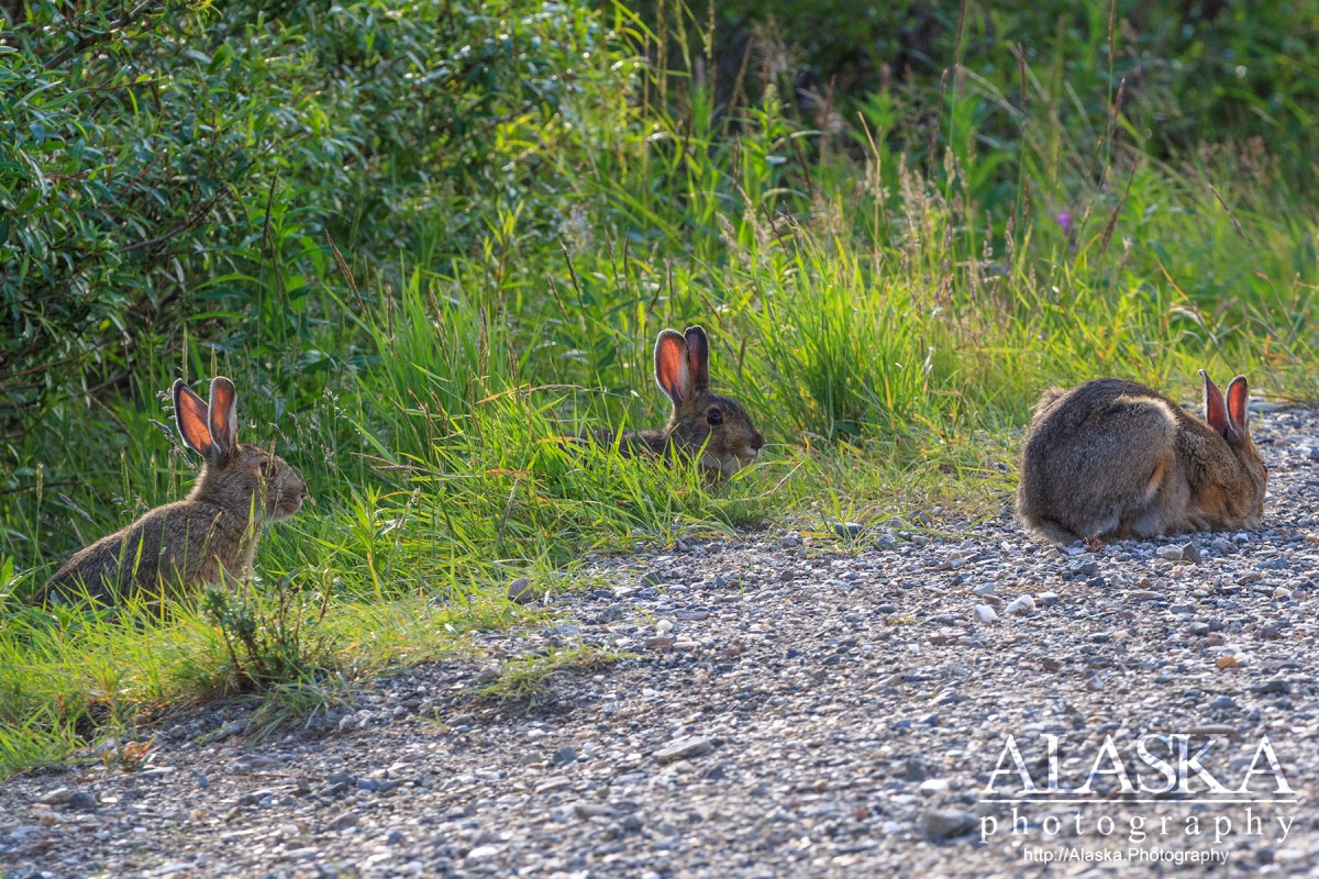 Snowshoe hares feed along side the road in Denali National Park and Preserve.