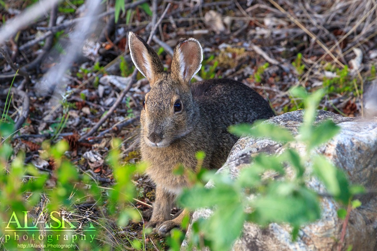 A snowshoe hare sits beneath the cover a the branches of a spruce tree in Denali National Park.