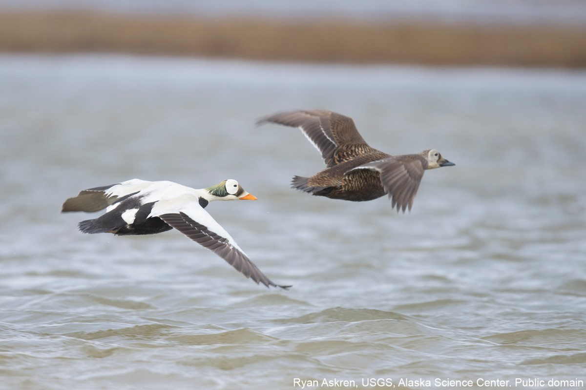 Spectacled eider male and female flying near the Colville River in 2013. Ryan Askren, USGS, Alaska Science Center. Public domain.