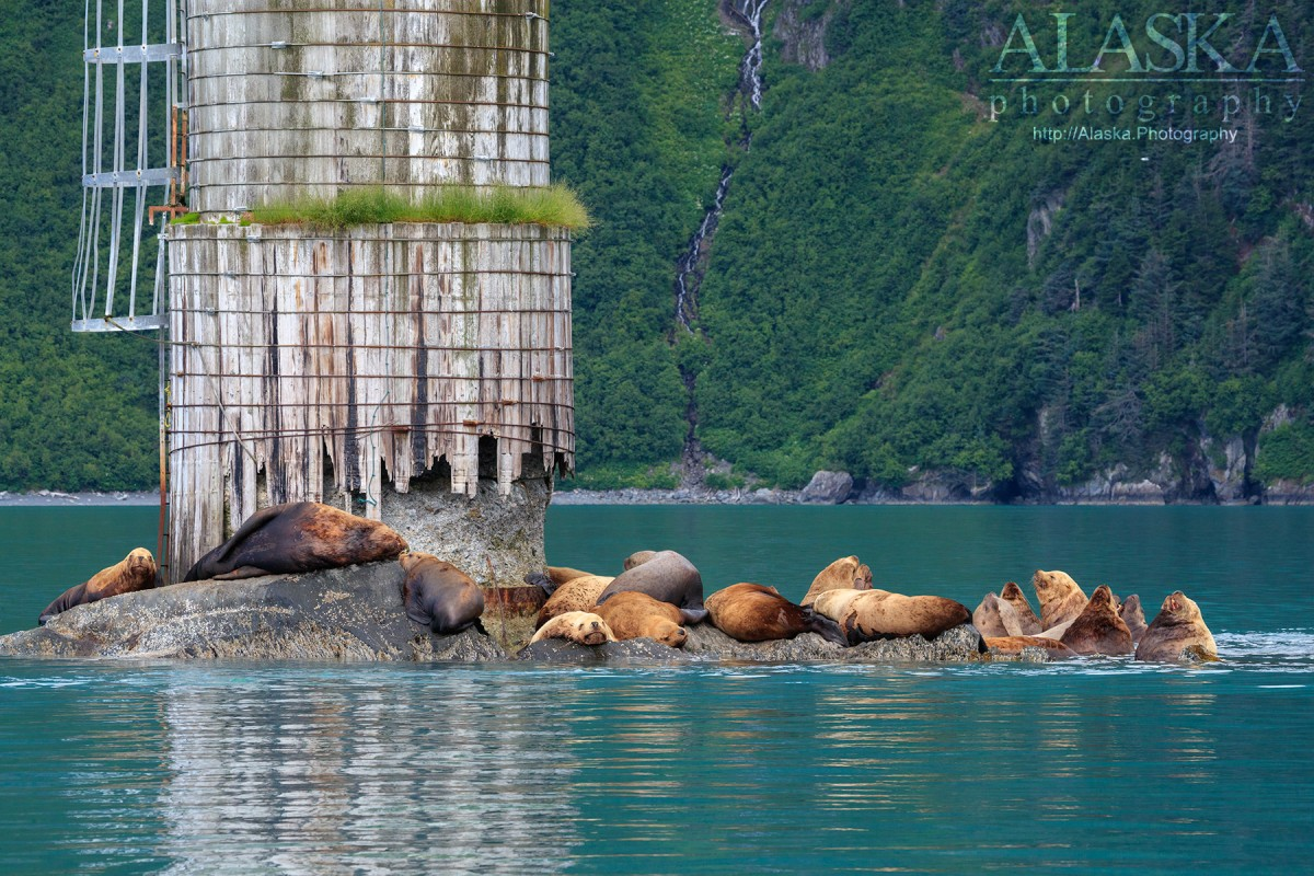A group of Steller sea lions haul out on Middle Rock, in Port Valdez.